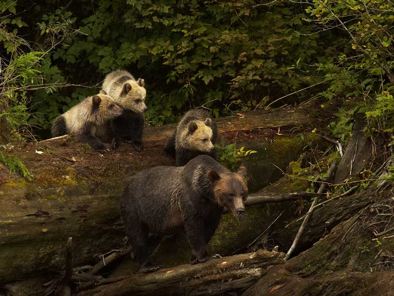 Grizzly Bears & the Canadian Rockies Train Vacation   Grizzly Bear Knight Inlet Lodge