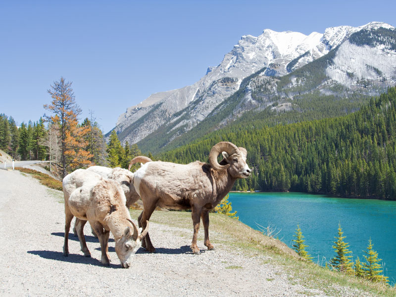 Jewels of the Canadian Rockies by Train | Bighorn Sheep - banff National Park
